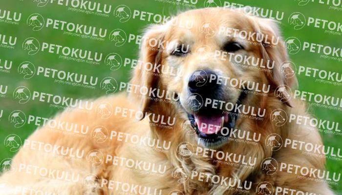 Golden Retriever Irkı Köpeğim Çok Agresif Nedeni Nedir