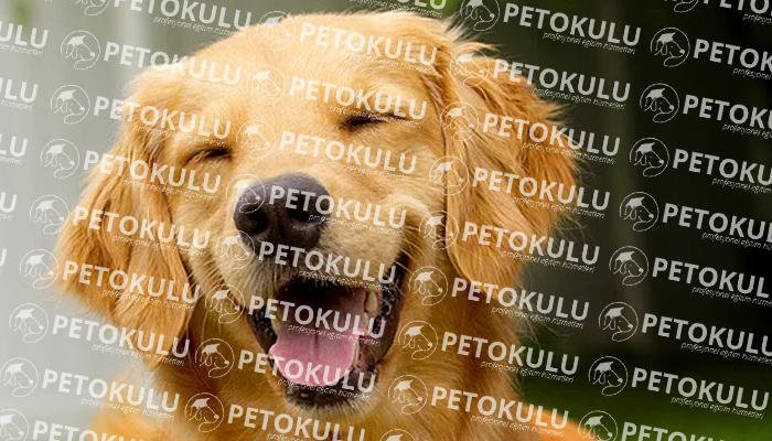 Golden Retriever Irkı Köpekler Ne Zaman Eğitime Başlayabilir?