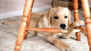 Köpeklerde Ayrılık Korkusu(Anksiyetesi)