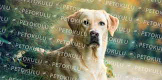 [Resim: Labrador-Retriever-E%C4%9Fitimi-324x160.jpg]
