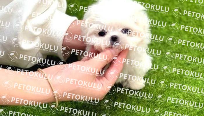 Maltese Terrier İtaat Eğitimleri