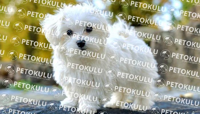Maltese Terrier Fiziksel Özellikleri