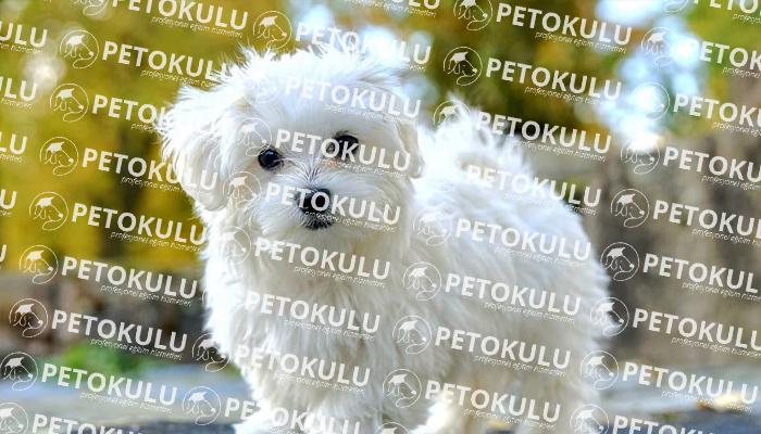 Maltese Terrier; Köpek Eğitimi