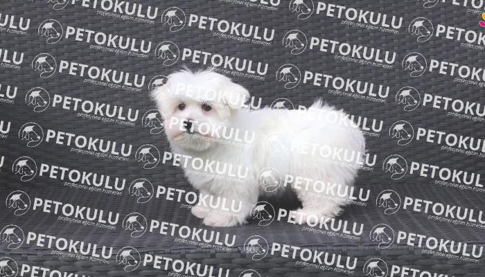 Maltese Terrier; Sağlık Sorunları