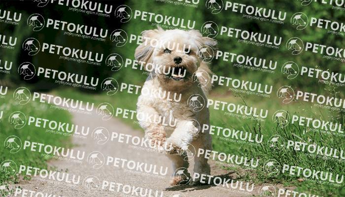 Maltese Terrier Temel İtaat Eğitimi