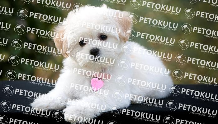 Maltese Terrier Tuvalet Eğitimi