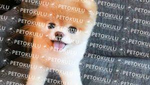 Pomeranian Köpek Eğitimine Kaç Aylıkken Başlayabilir
