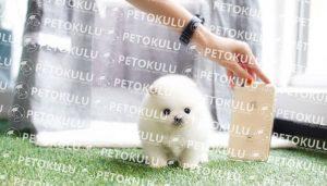 Pomeranian Sahiplenmek İçin Uygun Musunuz