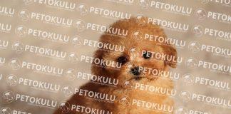 [Resim: Toy-Poodle-K%C3%B6pek-Cinsi-Hakk%C4%B1nd...24x160.jpg]